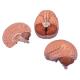 Brain Model C15