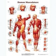 Anatomical Chart, Muscles