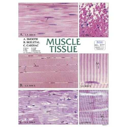 Chart Muscle Tissue