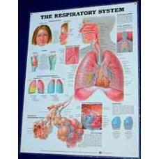 Anatomical Chart, Respiratory System