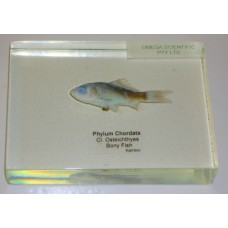 Animal Kingdom Specimen, Chordata, Fish, plastic block mounted